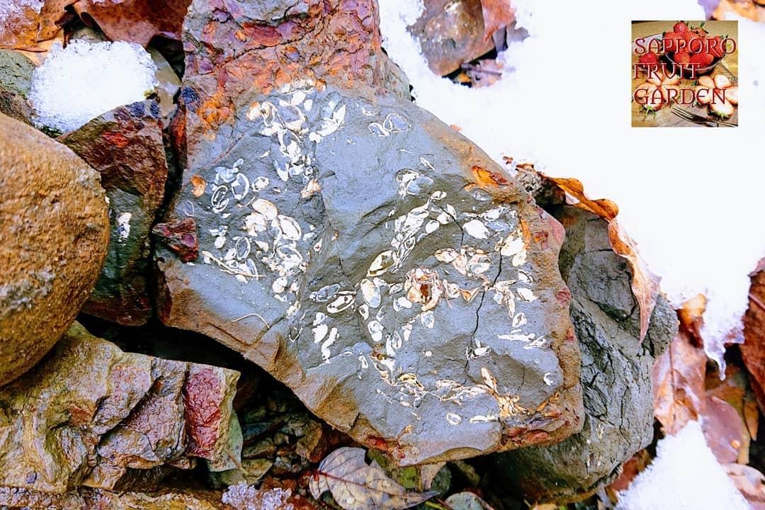 豊平川冒険2化石